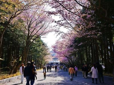 札幌 ゴールデンウィーク 花見 桜 梅