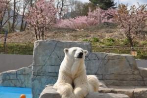 GW 札幌 イベント 円山動物園春まつり