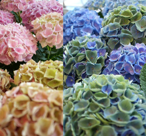 母の日 カーネーション以外の花 おすすめ あじさい