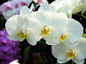 母の日 カーネーション以外の花 おすすめ 蘭